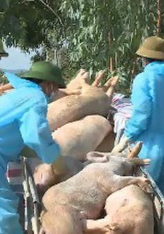 Nghệ An: Nguy cơ xóa sổ đàn lợn vì dịch