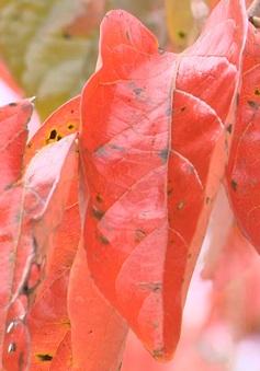 Ngỡ ngàng mùa lá đỏ trên phố núi Đà Lạt