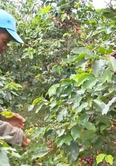 Giá cà phê thấp, người trồng không dám thuê nhân công