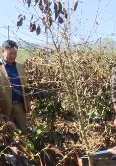 Gần 600ha cà phê ở Sơn La chết cháy do sương muối