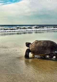 Phát hiện giống rùa tưởng đã tuyệt chủng 100 năm trước
