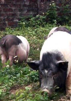 Bảo tồn gắn với thị trường giống lợn Móng Cái
