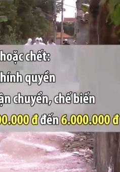 Bị phạt tiền nếu giấu dịch tả lợn châu Phi
