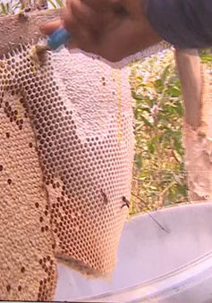 Săn mật ong rừng tràm