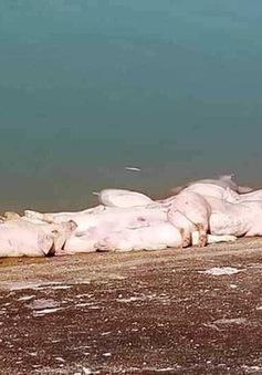 Cảnh báo nguy cơ dịch bệnh do vứt xác lợn bừa bãi
