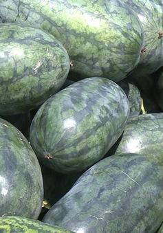 Nông dân Bố Trạch, Quảng Bình được mùa dưa hấu
