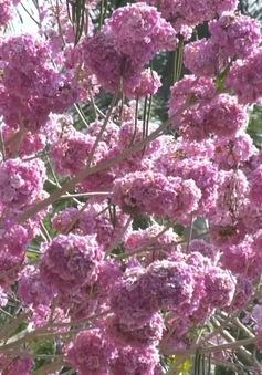 Ngập tràn sắc hoa kèn hồng tại TP.HCM