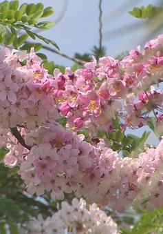 Về miền Tây ngắm hoa nở