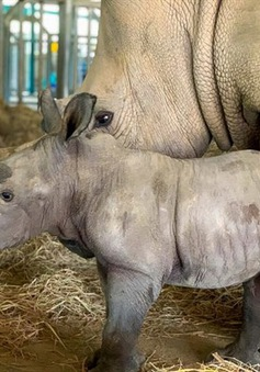Chào đón 2 tê giác con chào đời ở Phú Quốc