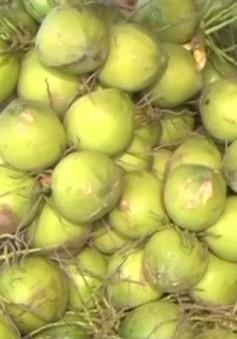 Nắng nóng kỷ lục, dừa xiêm xanh tăng giá