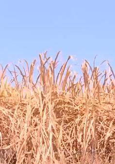 Mía chết khô hàng loạt vì nắng nóng kéo dài