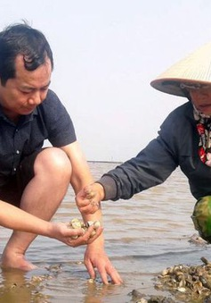 Nghêu chết hàng loạt, nông dân Thanh Hóa lao đao