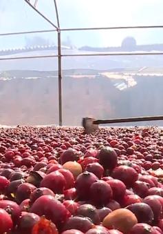 Giá cà phê giảm mạnh, nông dân trữ hàng