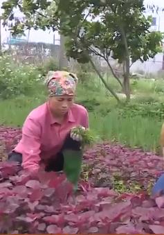 Cả làng khấm khá nhờ trồng rau hữu cơ