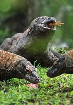 Indonesia: Hòn đảo Rồng Komodo đóng cửa do nạn săn bắt động vật