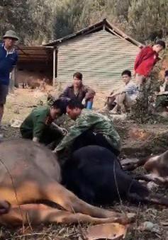Bắc Kạn: Hàng loạt trâu bò chết bất thường do nghi nhiễm độc xyanua
