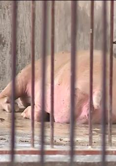 Dịch tả lợn châu Phi tại Trung Quốc diễn biến chậm lại