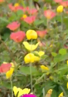Đường làng rực rỡ sắc hoa