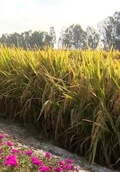 Sử dụng giống lúa thích ứng hạn mặn - Lối ra cho người trồng lúa ĐBSCL