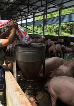 Các tỉnh phía Nam khẩn trương dập dịch tả lợn châu Phi