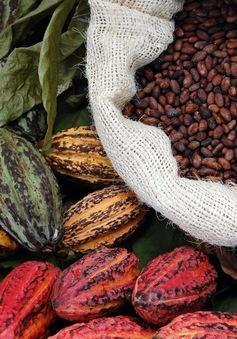 Sản lượng cacao toàn cầu tăng kỷ lục