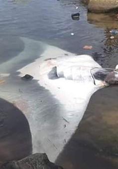 Quảng Ngãi: Ngư dân Lý Sơn bắt được cá đuối nặng 600 kg