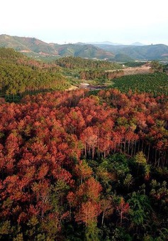 """Lâm Đồng: Tái hiện hiện trường vụ hơn 3000 cây thông bị """"bức tử"""""""