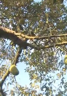 """Sầu riêng Ri6 - """"Vua"""" của các loài trái cây nhiệt đới"""