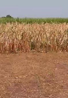 Biến đổi khí hậu đẩy nông dân Trung Mỹ vào cảnh mất mùa