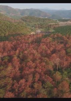 Lâm Đồng: Hàng ngàn cây thông bị đầu độc