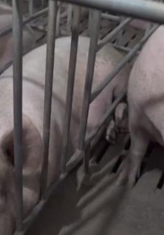 Thái Lan dừng nhập khẩu thịt lợn từ Lào