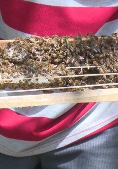 Triển vọng với nghề nuôi ong ruồi lấy mật