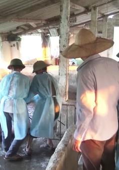 Bạc Liêu xuất hiện nhiều ổ dịch tả lợn châu Phi