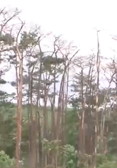 Đắk Nông: Rừng thông cảnh quan bị tàn phá