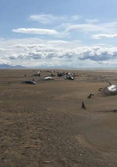 Hàng chục con cá voi chết tập thể trên bờ biển Iceland