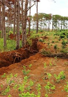 Khởi tố vụ đầu độc rừng thông ở Lâm Đồng