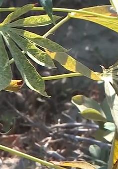 Hàng trăm héc ta sắn ở Thừa Thiên Huế bị bệnh nhện đỏ