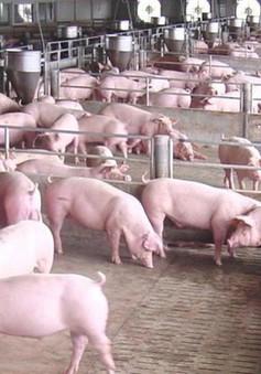 TP.HCM: Giá thịt lợn tăng kỷ lục