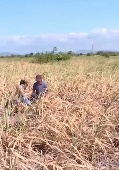 Hàng ngàn ha mía chết do nắng hạn, nguy cơ thiếu hụt nguyên liệu