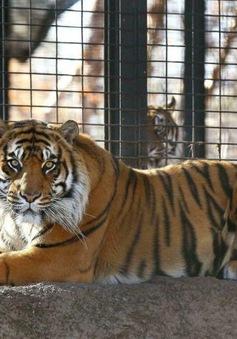 Hơn 2.300 con hổ bị giết hại và mua bán trái phép