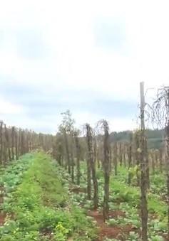Đắk Nông: Tiêu chết, nông dân vay nóng trả nợ ngân hàng