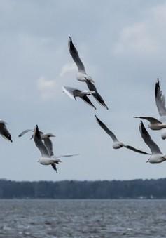 Chim chết nghi truyền virus viêm não