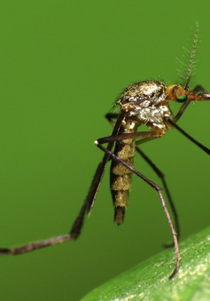 Báo động muỗi nhiệt đới tại châu Âu