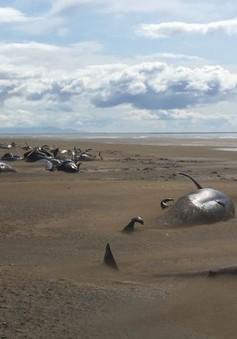 Thêm đàn cá voi chết và mắc cạn bí ẩn ở bờ biển Iceland
