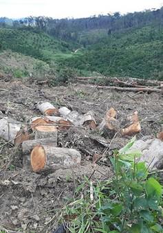 Lâm Đồng: Khẩn trương điều tra vụ phá rừng chiếm đất