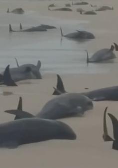 Cá voi chết hàng loạt tại bãi biển Cape Verde