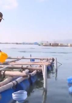 Không khí nhộn nhịp tại vùng nuôi tôm hùm tỉnh Phú Yên