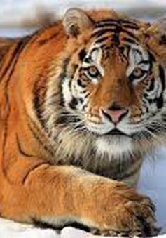 Tuần hành bảo vệ loài hổ Siberia