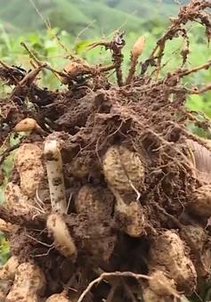 Nông dân Trung Bộ thiệt hại nặng do mưa lũ kéo dài