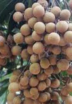 Nhãn chín muộn của Hà Nội được xuất khẩu sang Australia